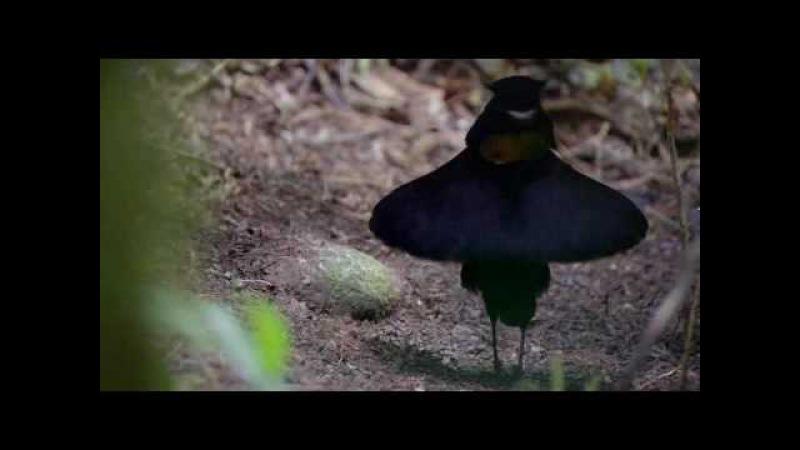 Ухажер Райские птицы