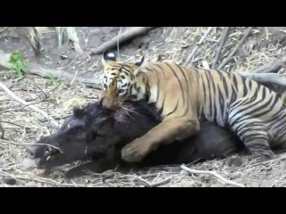 Тигр охотится на кабана - секача.