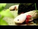 Axolotl Feeding Fütterung der Axolotl Ambystoma mexicanum