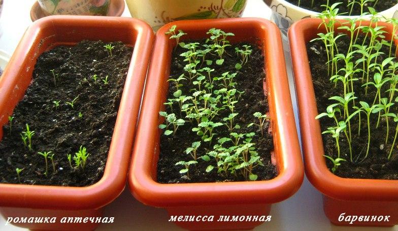 Мелисса: посадка, выращивание