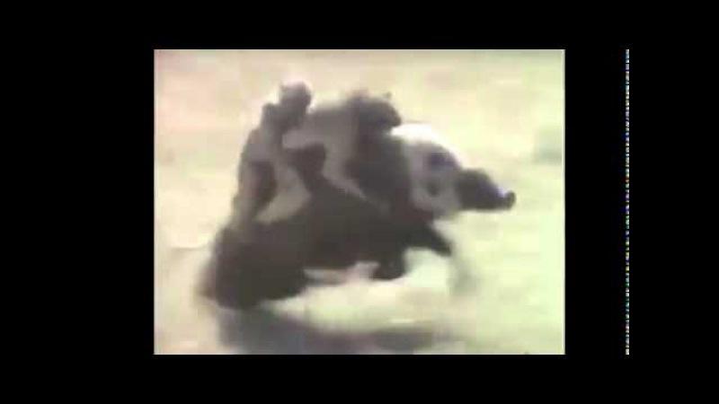 Неуловимые мстители! Обезьяны убегают на кабане!