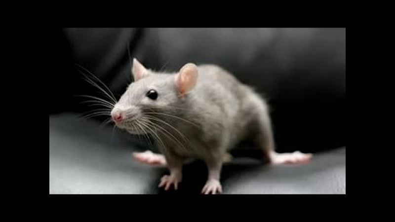 Умные Крысы. Познавательное видео.