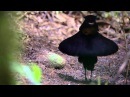 BBC Planet Earth - Birds of Paradise mating dance
