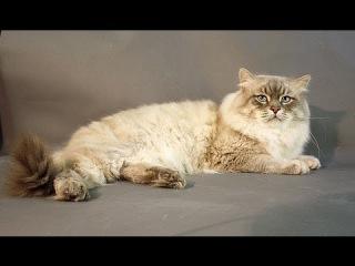 Кошка - Сибирский колор поинт
