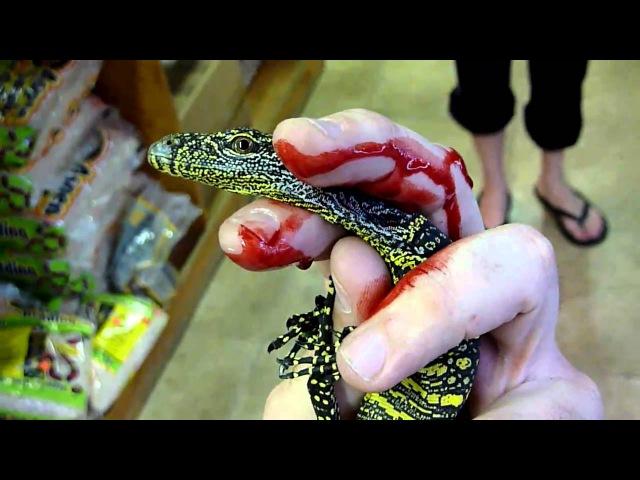 Укус только что вылупившегося детеныша крокодилового варана