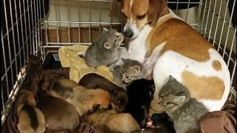 Mother Dog Fostering Kittens