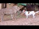 African Cheetah Cub Versus Jack Russell Terrier - Cat Dog Fight Battle of Will - Cheetah Thug Life