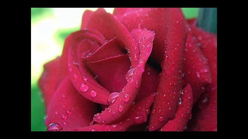 Million Scarlet Roses Alla Pugacheva