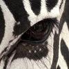Zebra Studio