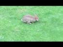 Брауншвайгский кролег