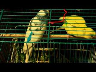 История одной любви. Попугаи целуются :)