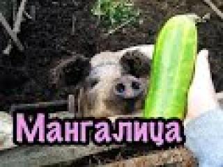 Будни Фермера. Венгерская мангалица. Лето 2015 \ Bauernhof Schweine. Mangalica
