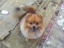FOR SALE pomeranian male Buddy Brill Allen Iz Knyaginino age 6 m