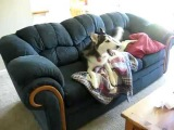 Husky throws temper tantrum over watching TV on couch