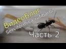 ВидеоБлог Serviformica rufibarbis часть 2 Первый муравей