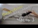 ВидеоБлог Serviformica rufibarbis часть 3 Кормим виноградом