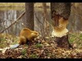 Бобровая Плотина . Документальный Фильм National Geographic