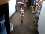 Самая смешная танцующая собака в мире - чик чики бум. без рекламы