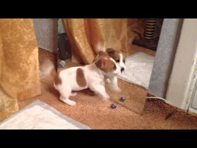 Моя собака Юшка Джек Рассел Терьер Щенок Первые дни дома