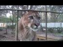Big Cat Rescue~ Cougar talking to cameraman...