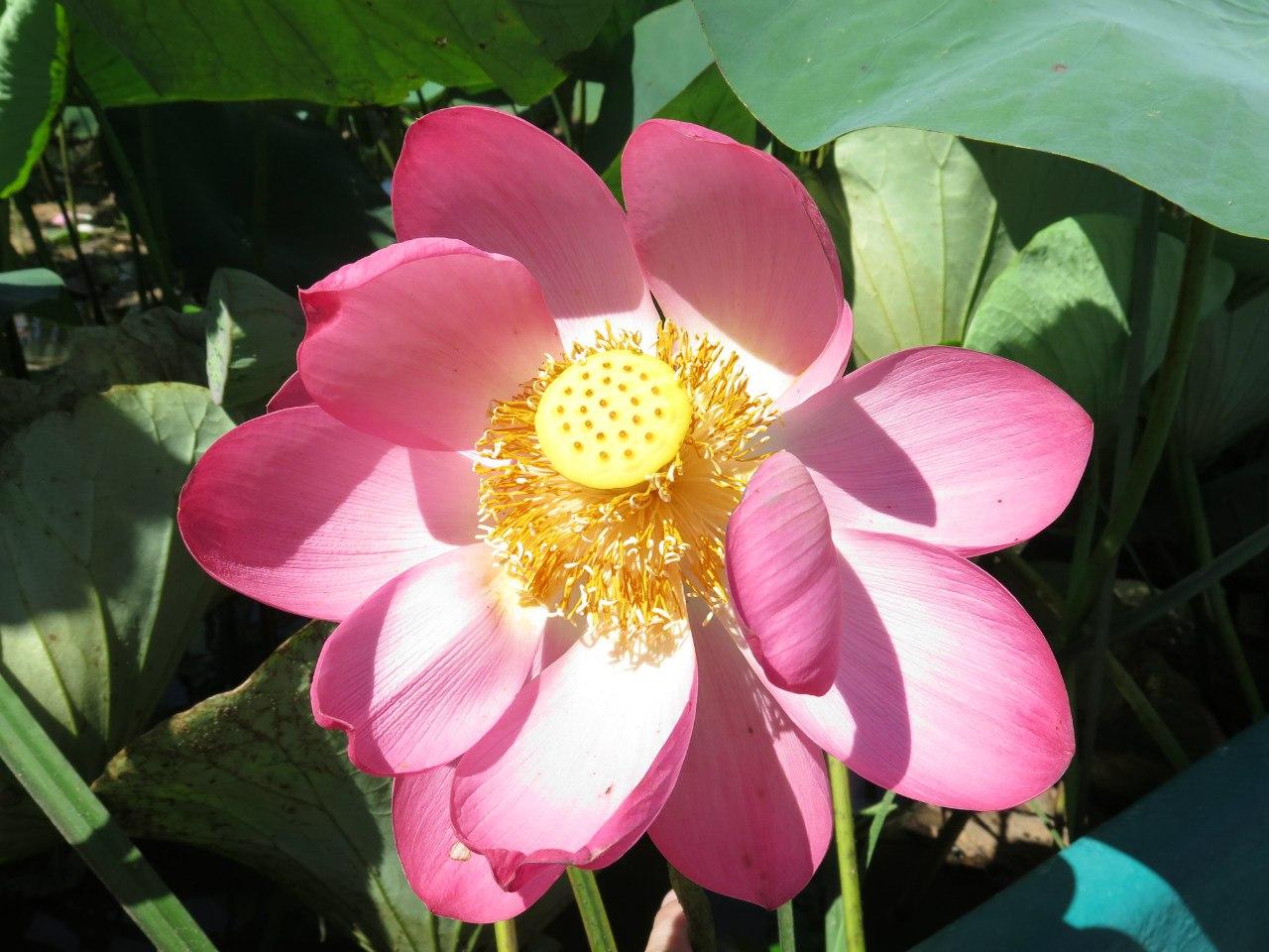 Смотреть картинки цветущих полей лотоса