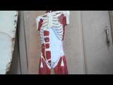 Мышцы груди. Мышцы спины. Мышцы живота. Анатомия. Урок 1