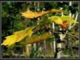 В последнюю осень (ДДТ)