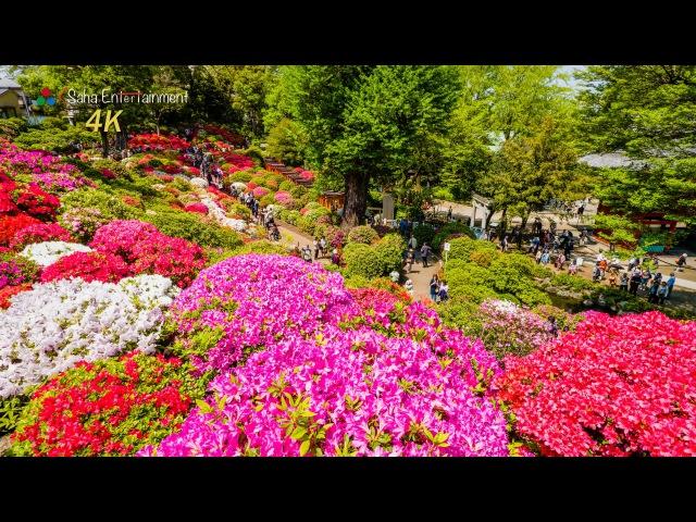 4K Ultra HD 根津神社 満開のツツジ Tokyo Nedu jinja shrine Azalea full bloom