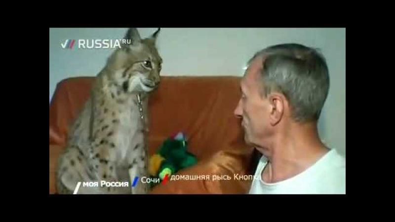 Домашняя кошка - рысь Кнопка
