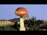 Fly agaric Amanita muscaria fungi growing time lapse