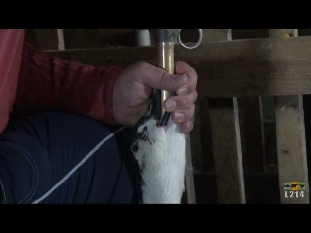 Foie gras du Sud-Ouest enquête dans des salles de gavage typique de la production