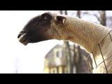 Goats Yelling Like Humans   Super Cut Compilation   YouTube