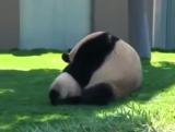 Панда и детёныш