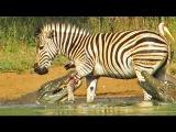 Нильский крокодил прокусывает ногу зебре