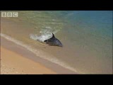 Hydroplaning Dolphins - BBC Planet Earth