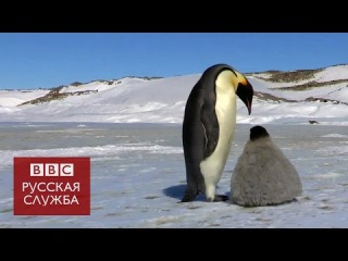 Робот-шпион в стае пингвинов - BBC Russian