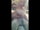 Orangutan Kisses Pregnant Womans Belly - Colchester Zoo