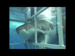 Большая белая акула крупным планом - нападение на аквалангиста