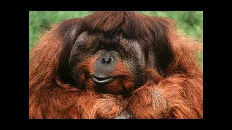 BBC, Живой мир, Король орангутангов, документальное кино