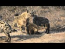 Гиена атакует молодую гиену, Hyena attack young hyena