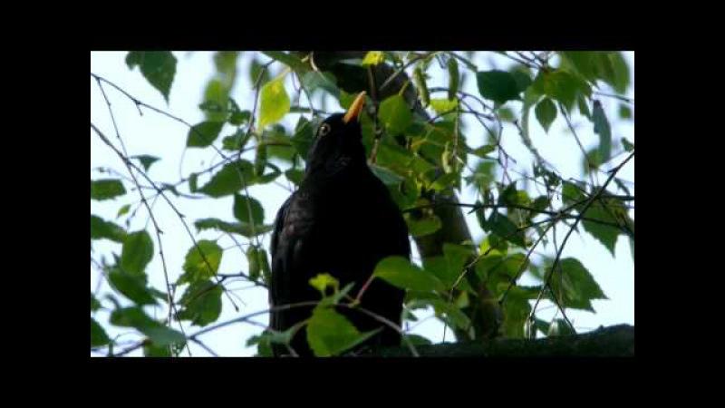 Common Blackbird or Eurasian Blackbird (Turdus merula ♂) / Amsel oder Schwarzdrossel [06]