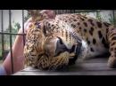 Леопард мурлычет Какой же он все таки классный