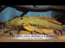 Hypostomus luteus Pier Aquatics