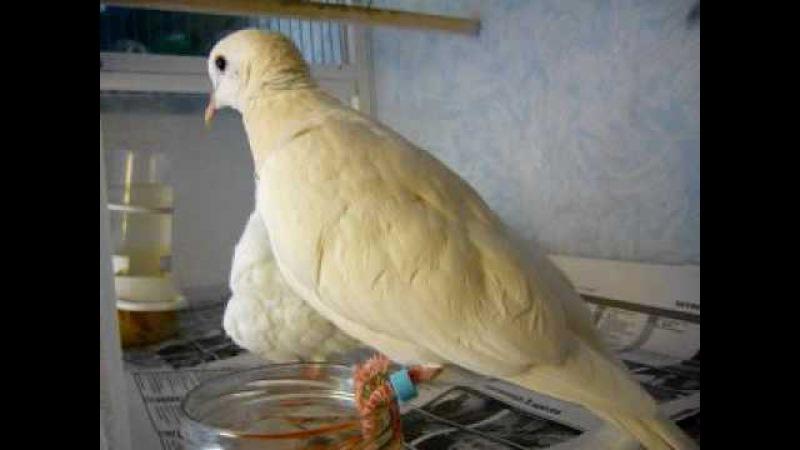 Смеющиеся горлицы. Летают воркуют. Ringneck doves in Moscow.