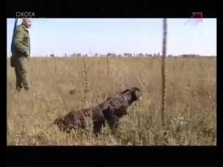 Испытание легавых собак по полевой дичи|18| Ни пуха ни пера