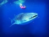 МИР ПУТЕШЕСТВИЙ «Китовая Акула - Самая большая акула в мире»