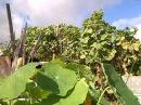 Уникальный метод выращивания огурцов