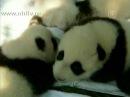 Двенадцать малышей-панд впервые на прогулке