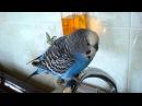 говорящий попугай КЕША
