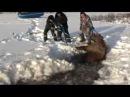 Спасение лосихи Saving the moose
